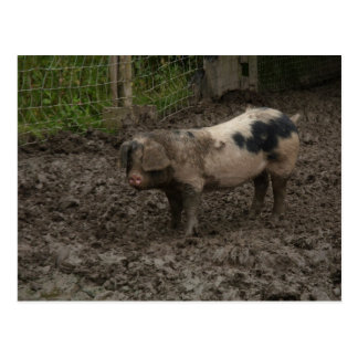 A pig in muck postcards