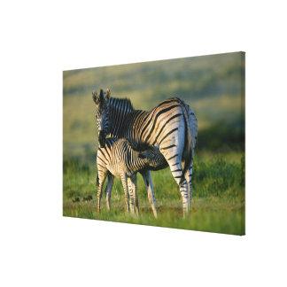A Plains Zebra feeding her foal, Kwazulu-Natal Canvas Print