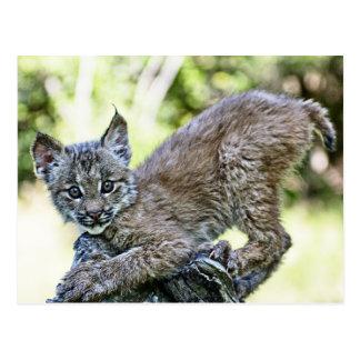 A Playful Canadian Lynx Kitten Postcard