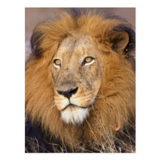 A portrait of a Lion looking into the distance Postcard