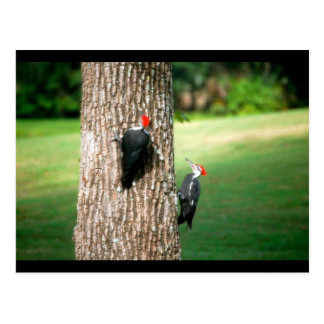 A Postcard of a Pair of Pileated Woodpeckers