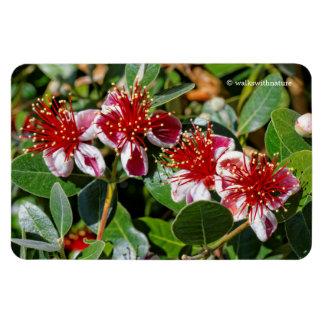 A Quartet of Pineapple Guava / Guavasteen Flowers Rectangular Photo Magnet