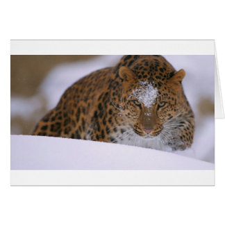 A Rare Amur Leopard Peers Over a Snowy Embankment. Card