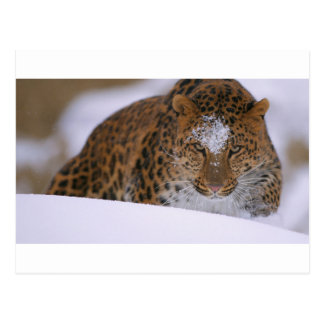 A Rare Amur Leopard Peers Over a Snowy Embankment. Postcard