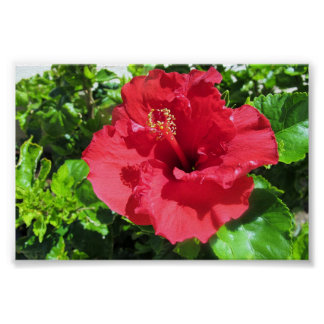 A Red Hibiscus Poster