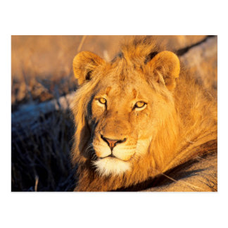 A Red Maned Lion looking at the camera. Postcard