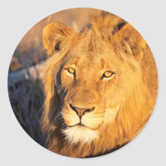 A Red Maned Lion looking at the camera. Round Sticker