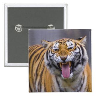 A roaring tiger, Taiwan, Taipei, Taipei Zoo 15 Cm Square Badge