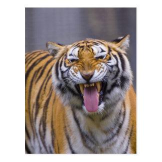 A roaring tiger, Taiwan, Taipei, Taipei Zoo Postcard