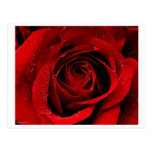 A Rose in Bloom Postcard