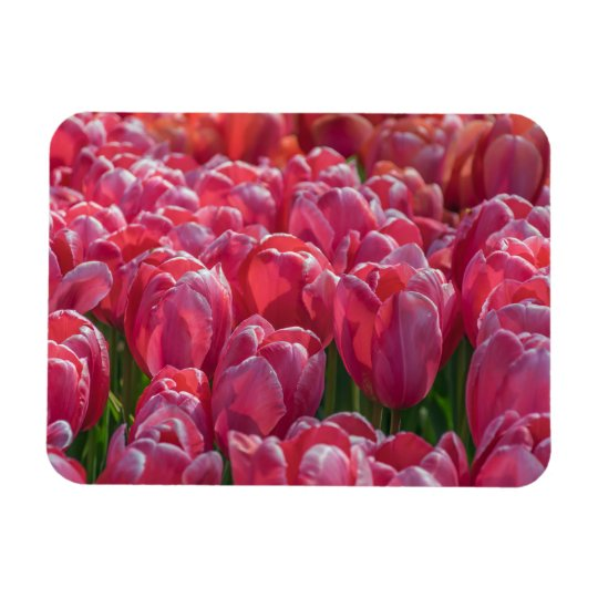 A sea of pink tulips fridge magnet