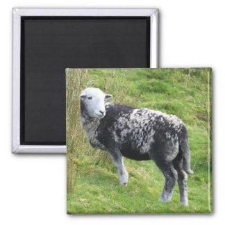 A sheep on Dartmoor Refrigerator Magnet