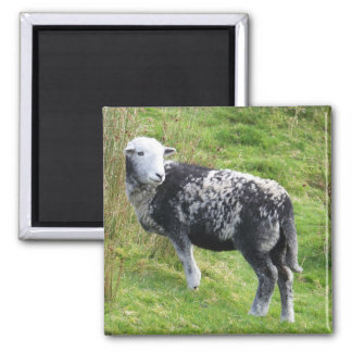 A sheep on Dartmoor Square Magnet