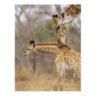 A side view of a Giraffe licking its young, Postcard