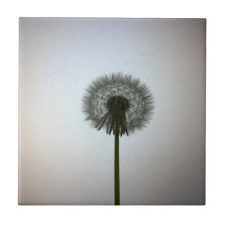 A Single Dandelion Against a White Backdrop Small Square Tile