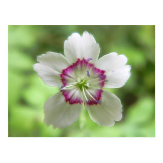 A Single Maiden Pink Flower Postcard