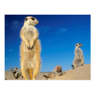A small Suricate family interacting at their den Postcard