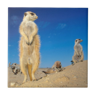 A small Suricate family interacting at their den Small Square Tile