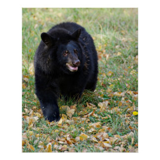 A Smiling Black Bear Poster