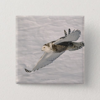 A Snowy owl gliding. 15 Cm Square Badge
