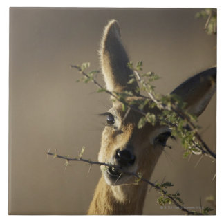 A Steenbok looking at the camera while it eats Large Square Tile