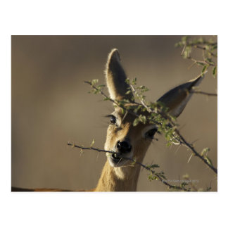 A Steenbok looking at the camera while it eats Postcard