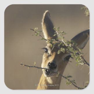 A Steenbok looking at the camera while it eats Square Sticker