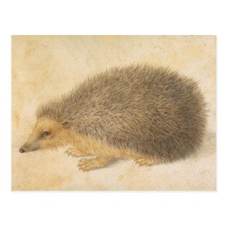 A Study OF A Hedgehog Postcard