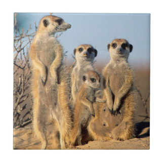 A Suricate family sunning themselves at their den Small Square Tile