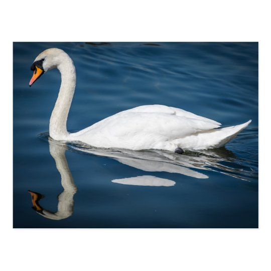 A swan and its reflection postcard