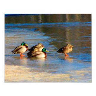 A Team Of Ducks Photographic Print
