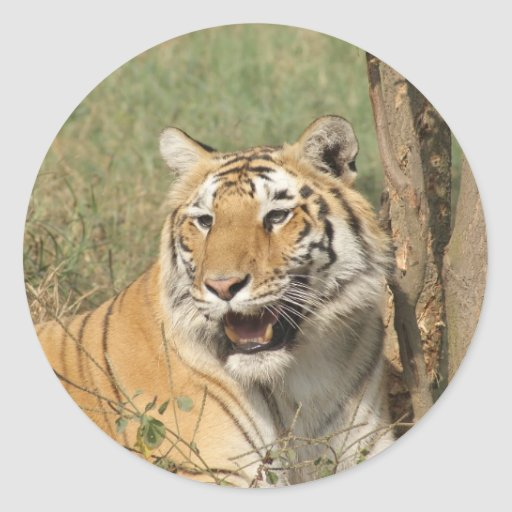 A tiger lying casually, yet alert stickers