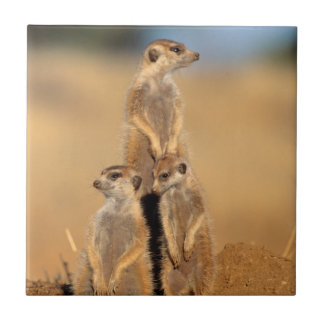 A trio of Suricates sunning at their den Small Square Tile