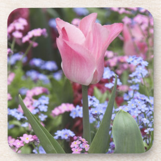 A tulip at Luxembourg Gardens, Paris, France Beverage Coaster