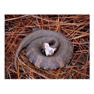 A venomous Eastern Cottonmouth snake Postcard