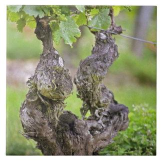 A very old vine in the Clos de l'Echo vineyard Large Square Tile