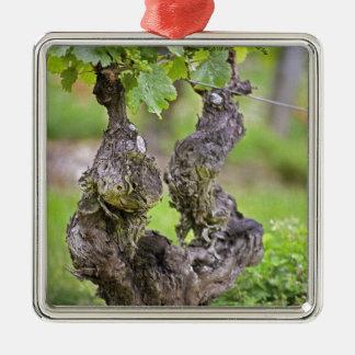A very old vine in the Clos de l'Echo vineyard Silver-Colored Square Decoration