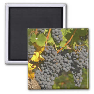 A vine with ripe Merlot grape bunches - Chateau Square Magnet