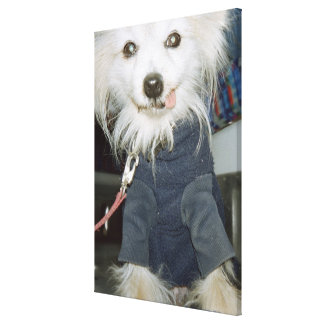 A white dog wearing clothes. gallery wrapped canvas