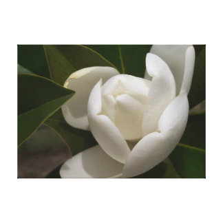 A white southern magnolia flower bud canvas print