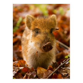 A Wild Boar Piglet Sus Scrofa in the Autumn Leaves Postcard