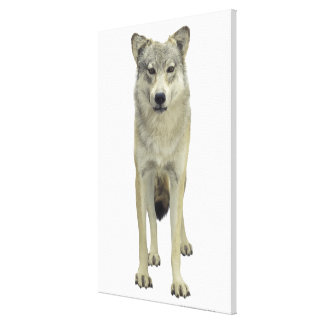 A wolf gallery wrapped canvas