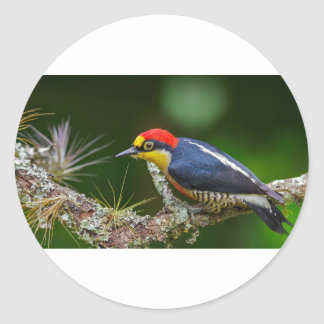 A Yellow Fronted Woodpecker in Brazil Classic Round Sticker