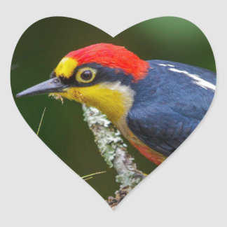 A Yellow Fronted Woodpecker in Brazil Heart Sticker