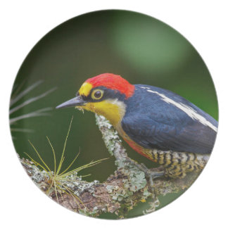 A Yellow Fronted Woodpecker in Brazil Plate