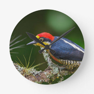A Yellow Fronted Woodpecker in Brazil Round Clock