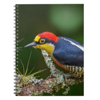 A Yellow Fronted Woodpecker in Brazil Spiral Notebook
