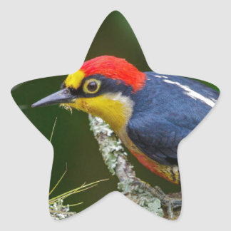 A Yellow Fronted Woodpecker in Brazil Star Sticker