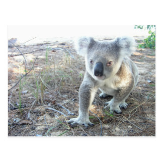 A young koala walking at the beach postcard