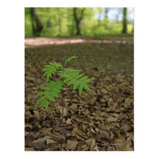 A young sapling Rowan tree starts life in a Postcard
